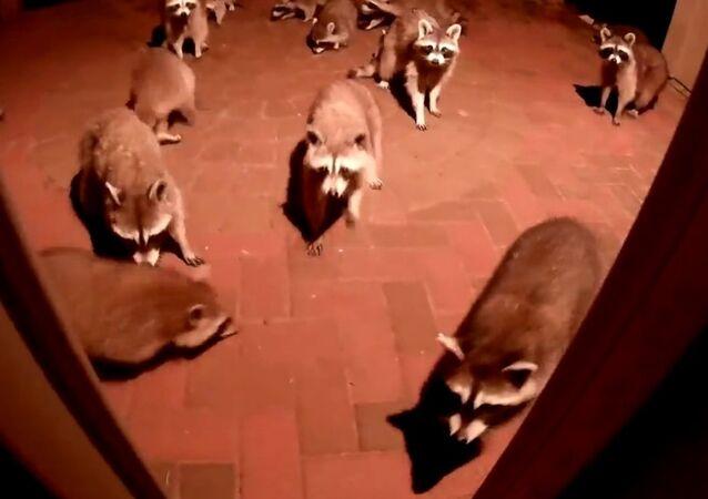 Raccoons Eating Dog Food