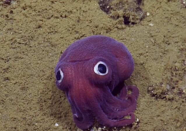 The team spotted this Stubby Squid off the coast of California at a depth of 900 meters (2,950 feet)