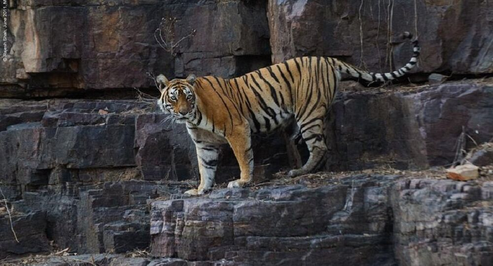 Tigress 'Machli'