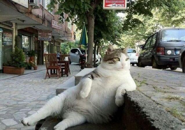 Tombili cat