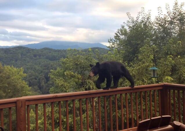 Bear Cub Discovers the Bird-feeders