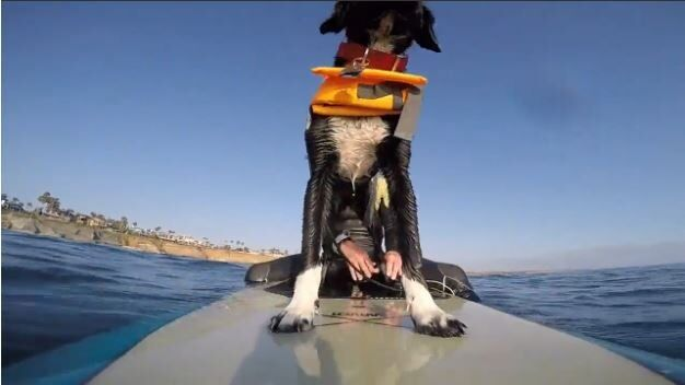 Puppy Goes Surfing for the First Time
