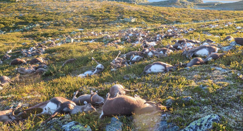 Dead wild reindeer are seen on Hardangervidda in Norway, after lightning struck the central mountain plateau and killed more than 300 of them, in this handout photo received on August 28, 2016