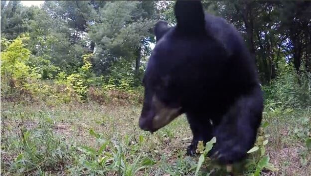 Family of Black Bears Take Interest in GoPro