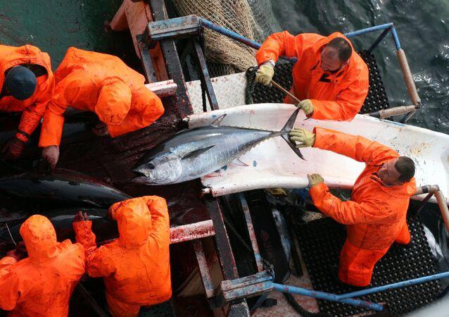 Croatian and Japanese fishermen collect tuna fish in the waters near the Adriatic coastal town of Zadar, Croatia (File)