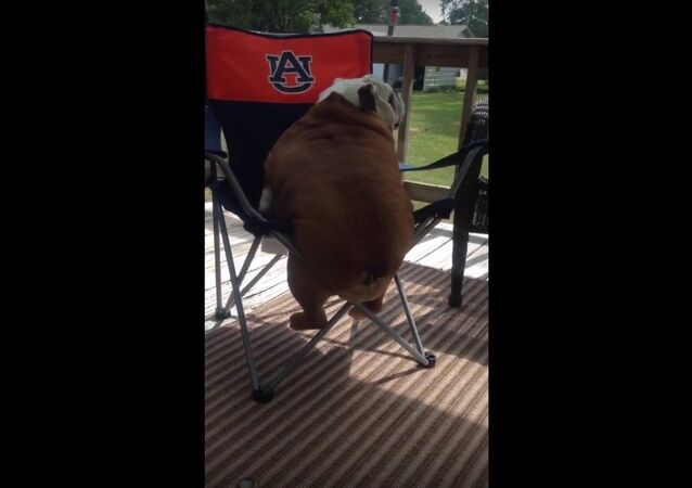 Large bulldog struggles to climb in chair