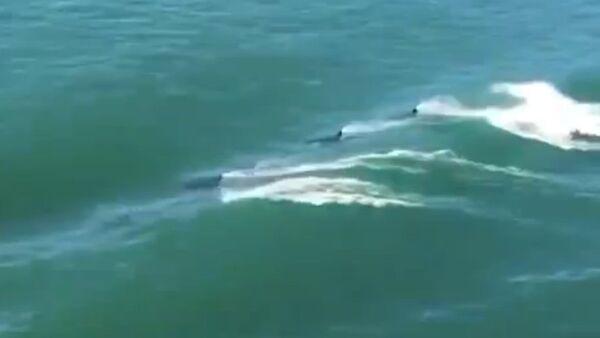 Orcas escorting a ship - Sputnik International