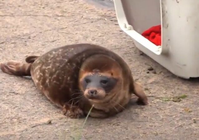 Tiny Seal Refuses to Return to the Wild