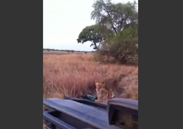 Lion Pays Tourists a Visit in National Park
