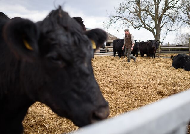 British farmer Tony Bulgin walks through an enclosure of cows on his farm in Thetford, Norfolk, south east England, on March 22, 2016