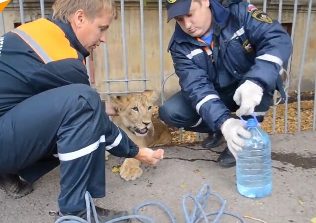 A Baby Lion Found in a Street of Russia's Ufa