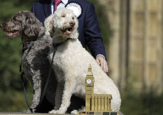 Jonathan Reynolds and his labradoodles Clinton, right, and Kennedy, left, pose for a picture after winning Westminster Dog of the Year competition, in London, Thursday, Sept. 8, 2016.