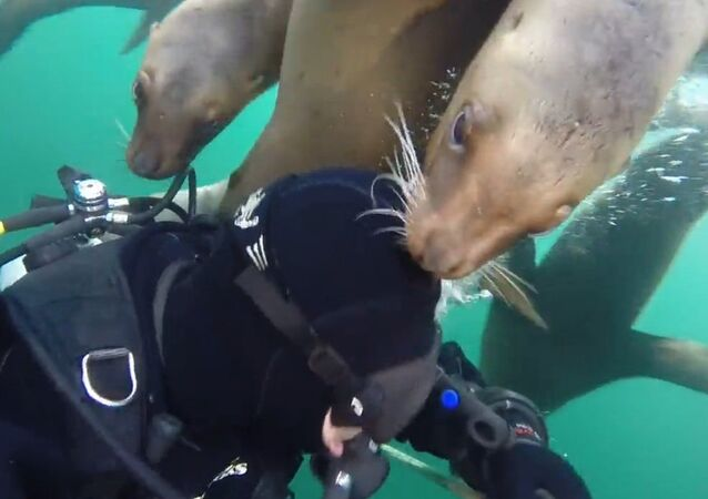 Swarm of Friendly Sea Lions Greet Diver