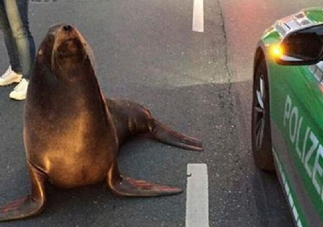 Sea Lion Charly Takes a 'Morning Walk' in German City of Coburg