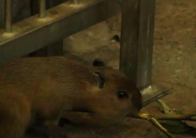 Cuteness Overload: Baby Capybaras Born in Kaliningrad Zoo
