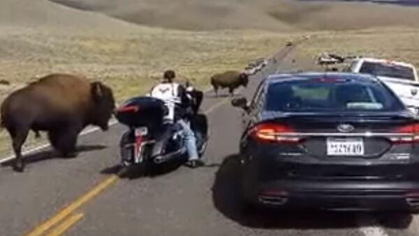 Yellowstone buffalo in rut, surrounds woman on motorcycle - Sputnik International
