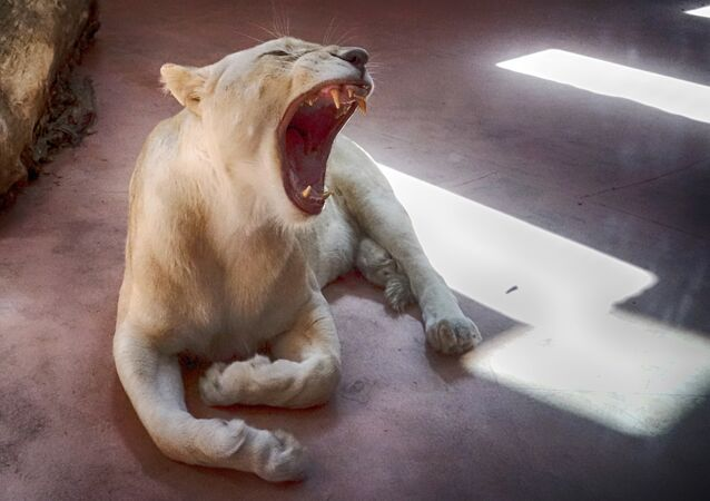 Female White Lion Ivanna yawns in a private zoo in the village of Demydiv 50 kilometres west of Kiev, Ukraine, Sunday, Aug. 21, 2016.
