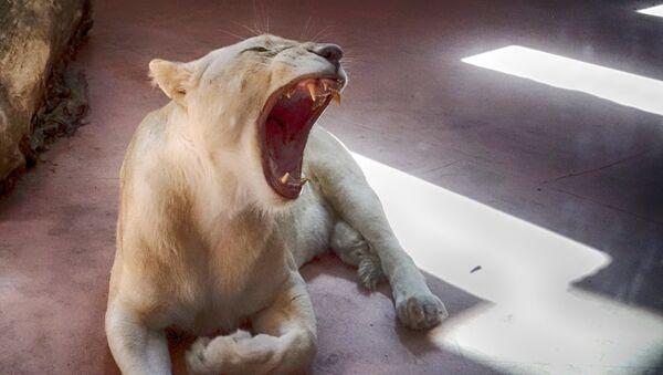 Female White Lion Ivanna yawns in a private zoo in the village of Demydiv 50 kilometres west of Kiev, Ukraine, Sunday, Aug. 21, 2016.  - Sputnik International