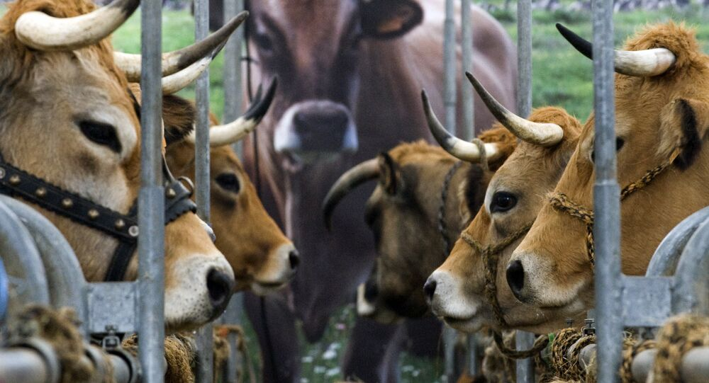 Cows are pictured during the Sommet de l'Elevage livestock show, on October 6, 2016 at the Grande Halle d'Auvergne in Cournon-d'Auvergne