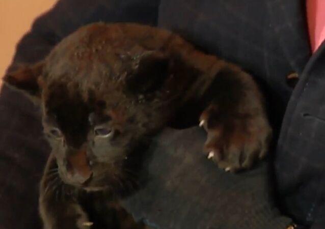 Meet Russian Zoo's Newborn Black Jaguars