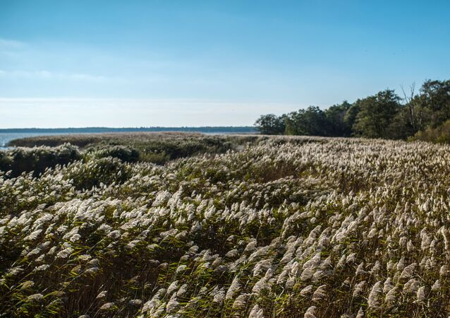 The common reed grass on the shore of the Curonian Lagoon in Curonian Spit National Park.
