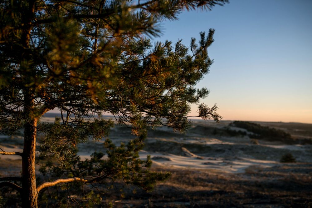 A pine in the Curonian Spit National Park.