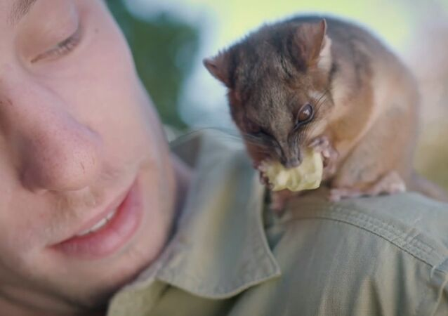 Orphaned Ringtail Possum Gaz Plays With Zookeeper Jarrod