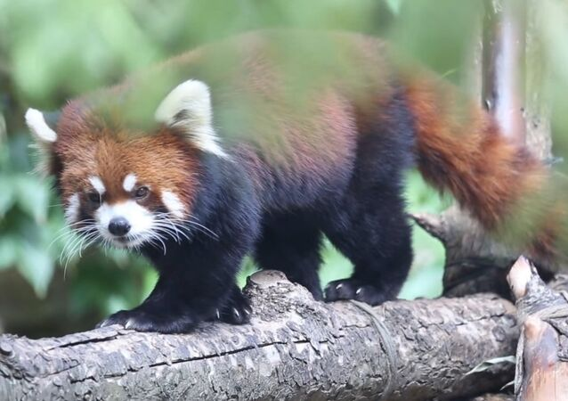 Red Panda Cubs Waveland & Sheffield on Exhibit at Lincoln Park Zoo