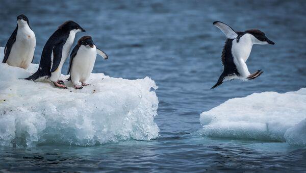 Пингвины Адели прыгают между льдинами - Sputnik International