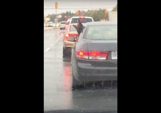 Dobie Dog Dancing in the Rain