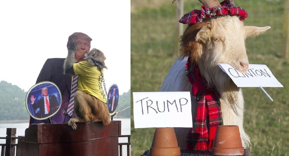 US Polls: 'Psychic' Scottish Goat Bets Clinton, Chinese Monkey Bets Trump