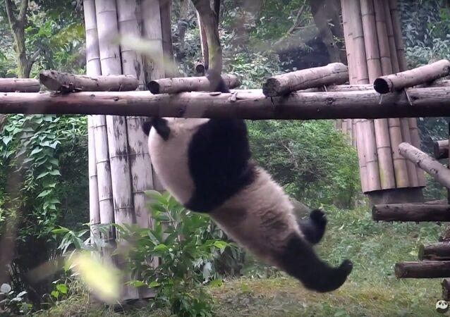 Panda's most embarrassing acrobatic tricks
