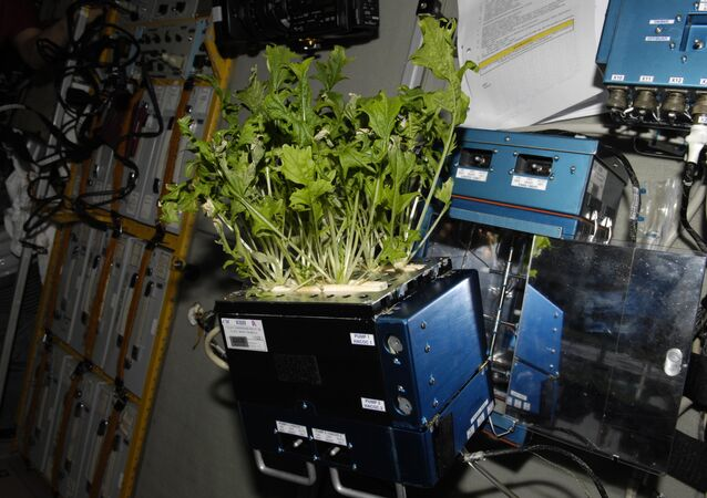 Mizuna lettuce growing aboard the International Space Station before being harvested and frozen for return to Earth