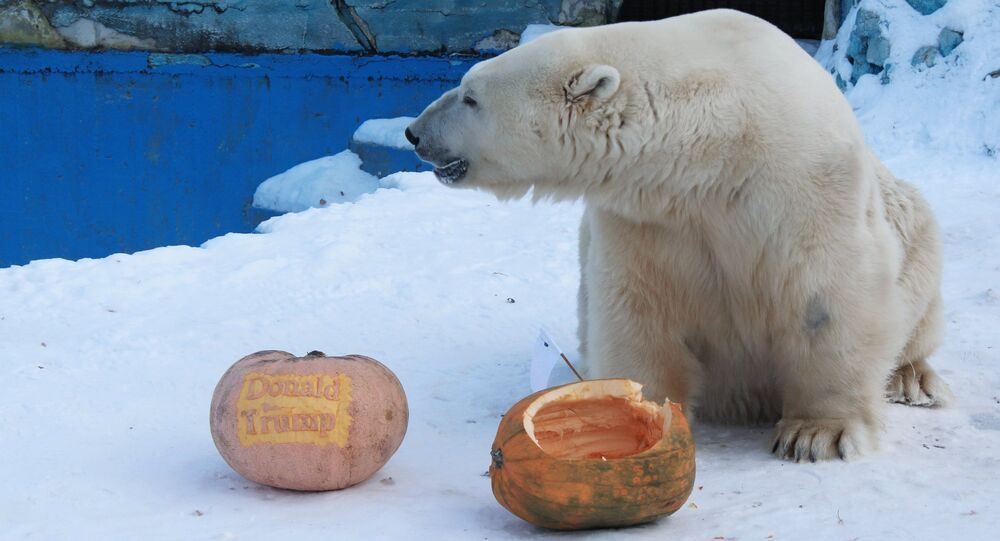 On November 7, Felix the polar bear and Yunona the Amur tigress at the Royev Ruchei Zoo in Krasnoayrsk predicted the results of the upcoming US presidential election. The tigress voted for Hillary Clinton, while the bear supporting Donald Trump