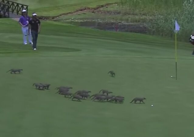 Pack of mongooses invade the green during game of golf