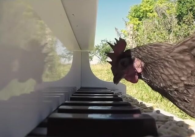 Talented chicken plays piano like a pro