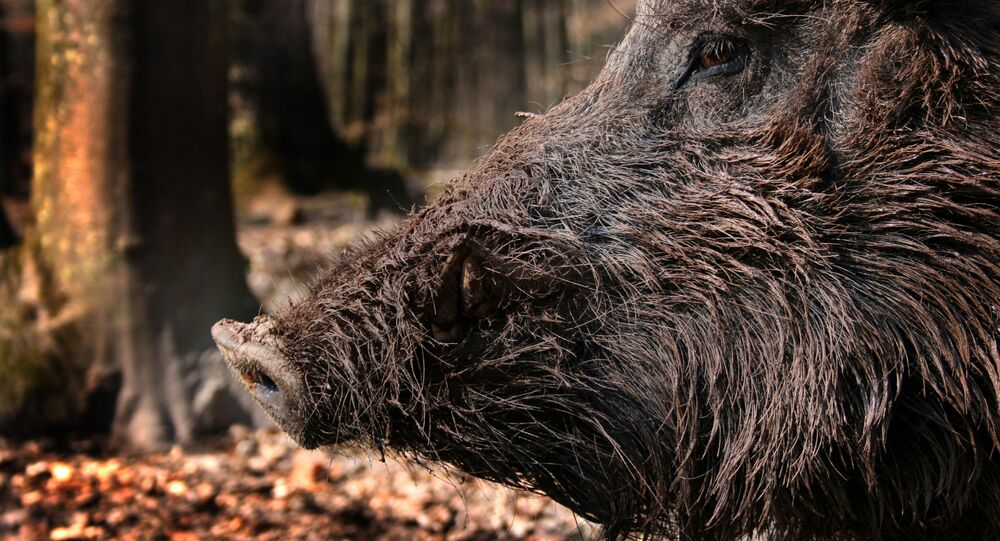 Boar in the forest