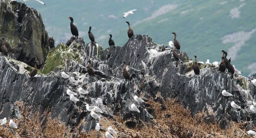 Cormorants and kittiwakes on an offshore rock.