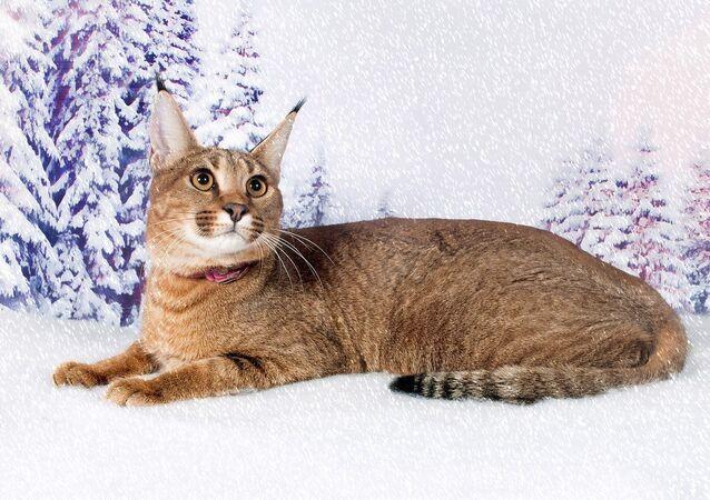 Ginny the caracat