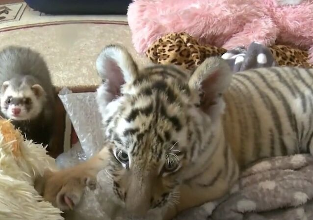 Like Father Like Son: Amur The Tiger's Son Befriends Ferret