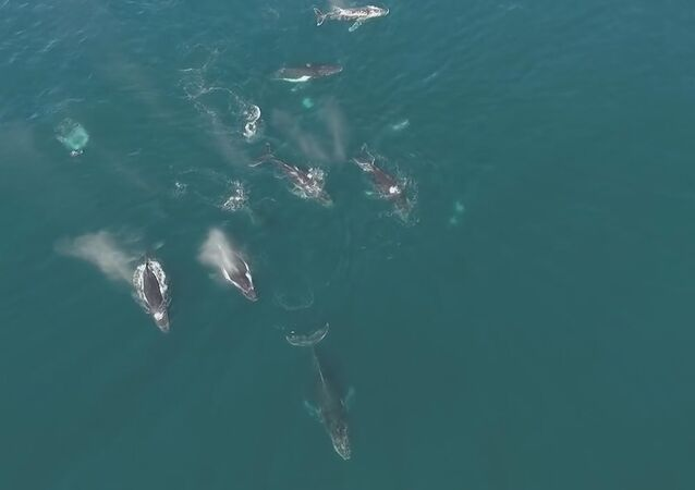 Drone Captures Pod Of Humpback Whales