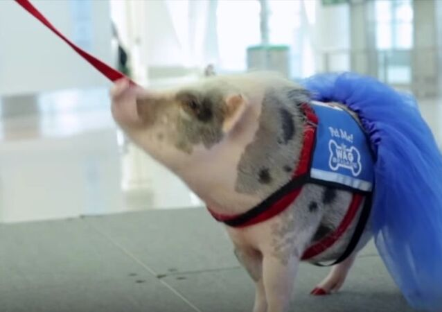 Meet LiLou, San Francisco Airport's Therapy Pig