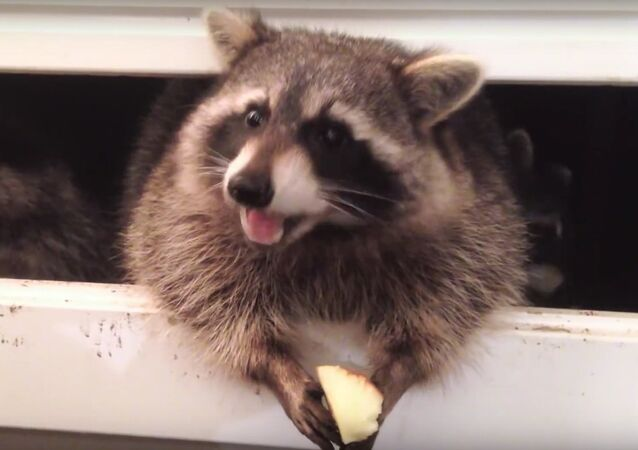 The Raccoons • Take-Out Window