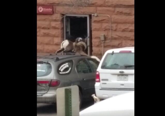 Bighorn sheep breaks glass door
