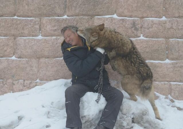 Chinese Businessman Spends ¥1m a Year Raising Pack of 150 Wolves