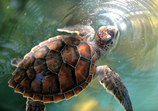 Hawksbill turtle cub