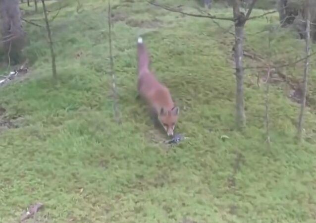 Fox and car keys