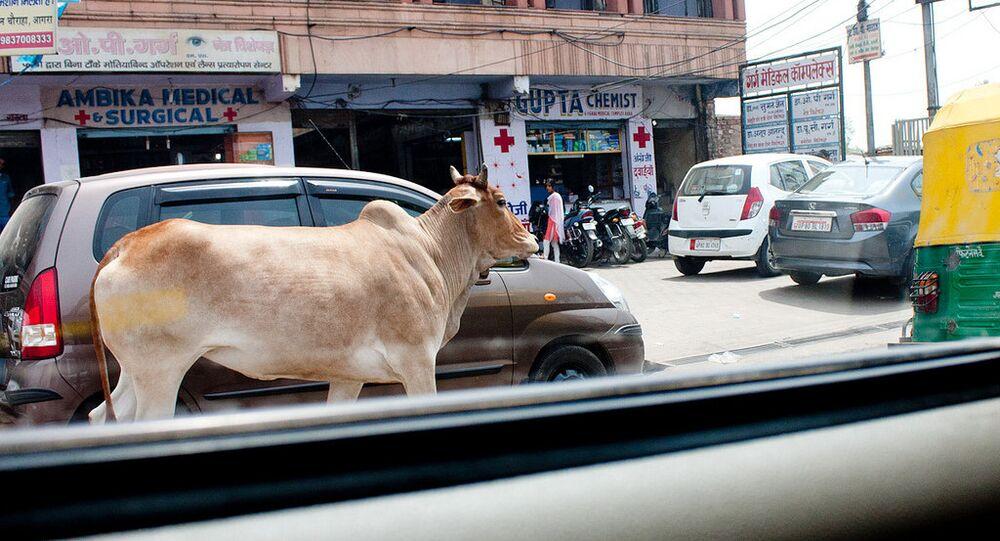 Cow. India