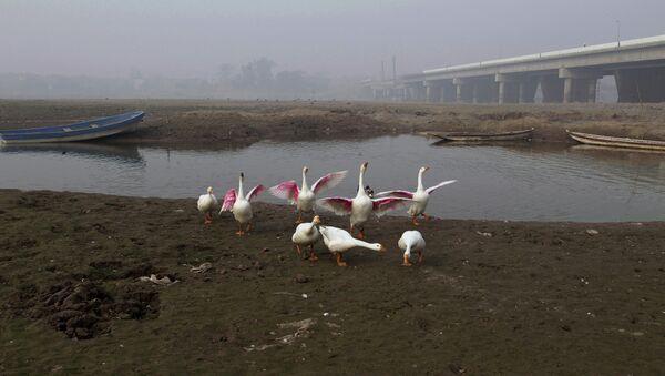 Fowl gather along a backwateer of the Ravi River, in Lahore, Pakistan, Wednesday, Dec. 14, 2016 - Sputnik International