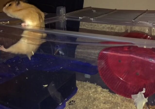 Clever hamster's escape